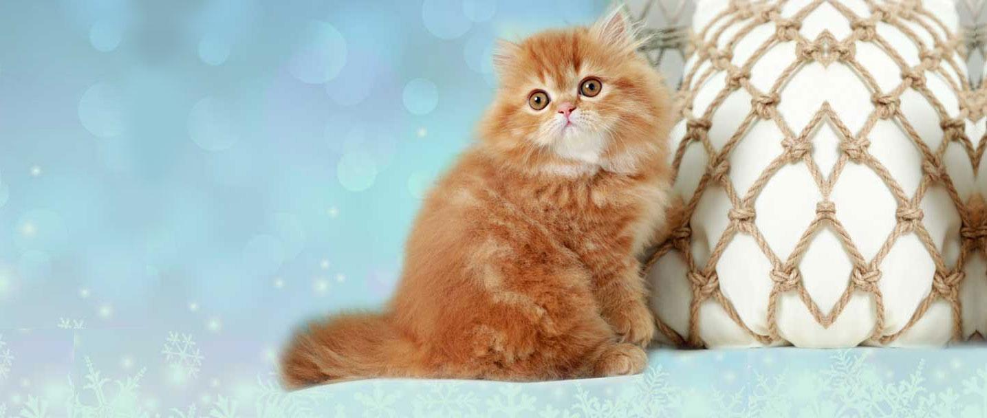 Cats For Sale Online In Chandigarh Bangalore Mumbai Delhi Pune Kolkata